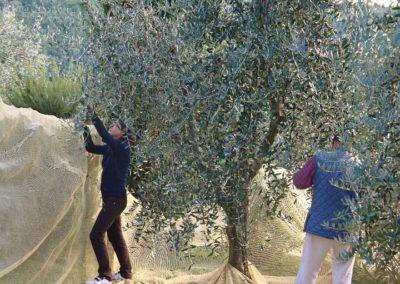 17 Casalsole olijvenoogst