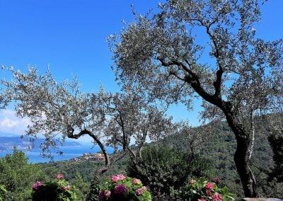23 Cinqueterre olijven