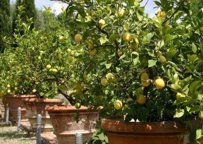 45 Il Borgo citroenen langs de oprijlaan